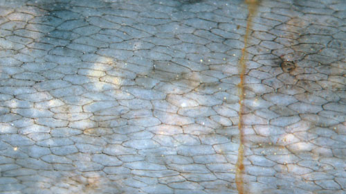 Aglaophyton epidermis seen as delicate meshwork