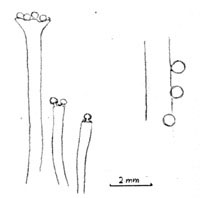 Comparison of Remyophyton and present specimen, drawing