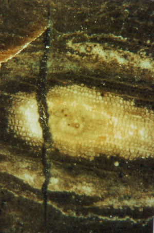 Fossil wood cross-section with cracked spot