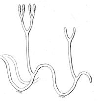 schematic drawing illustrating the undulating growth of Aglaophyton