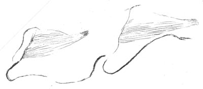 drawing of book lungs in each of the first two body segments