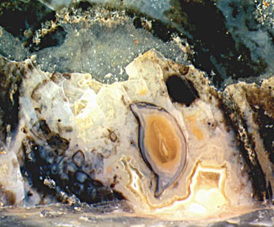exuviae silicified within a hollow straw of Aglaophyton