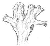 Horneophyton sporangium as suggested by odd-shaped sections seen on the chert face