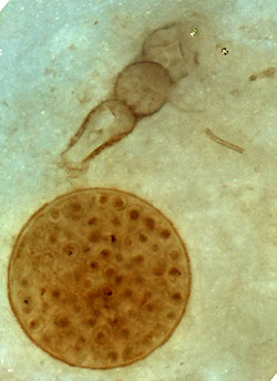 Oldest rotifer ever seen, caught in the act of attacking a spherical alga