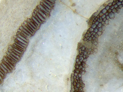 Aglaphyton capsule and straw walls